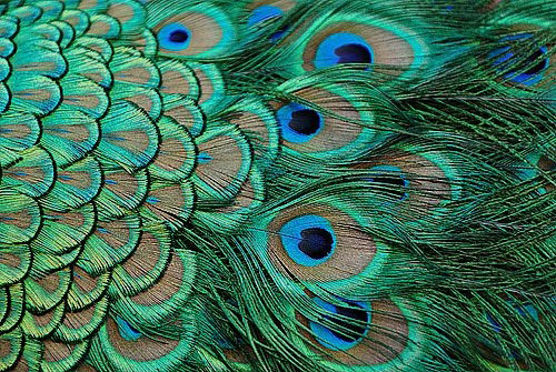 Did you know that the luminous brilliant colors of the peacock feather do
